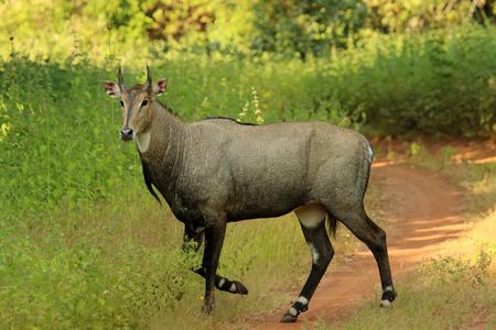 Nilgai, Boselephus tragocamelus, Tadoba National Park, Maharashtra, India