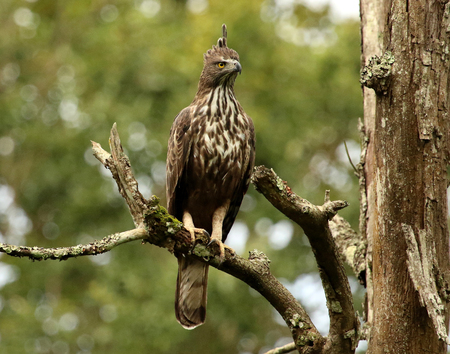 Crested Hawk Eagle, Nisaetus cirrhatus, Bandipur National Park, Karnataka, India