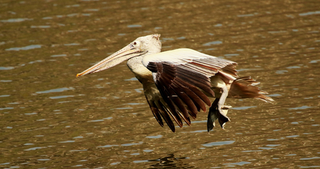 Spot billed pelican in flight, Pelecanus philippensis, Ranganathittu Bird Sanctuary, Karnataka, India