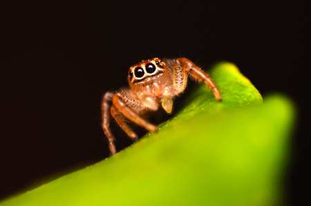 Female Jumping spider - Thyene imperialis, Satara, Maharashtra, India