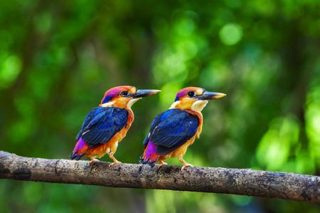 Zwei junge orientalische Zwergeisvögel, Chiplun aus Maharashtra, Indien Standard-Bild