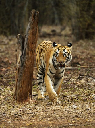 Young tigress, Telia Sisters, Panthera tigris, Tadoba, Maharashtra state of India