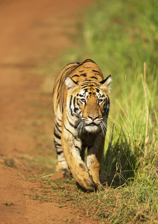 Stalking tigress, Telia sisters, Tadoba, Maharashtra state of India