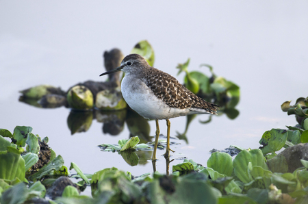 Spotted Sandpiper, Actitis macularius in search of food near Pune, Maharashtra, India.