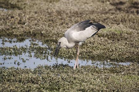 Asian Open-bill Stork, Anastomus oscitans searching food at Bhigwan, Pune, Maharashtra, India. Reklamní fotografie