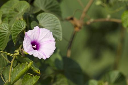 Morning glory flower, Ipomoea near Pune in Maharashtra, India.
