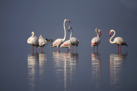 The greater flamingo, Phoenicopterus roseus standing in water with reflection at Bhigwan, Pune, Maharashtra, India.