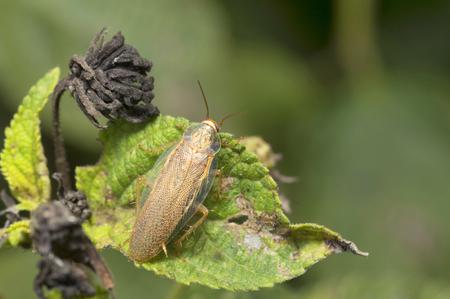 Wood cockroach sitting on a leaf Pune, Maharashtra, India.