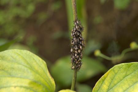 Hundreds of gray wild Aphids on a plant at Varandha Ghats Pune, Maharashtra, India.