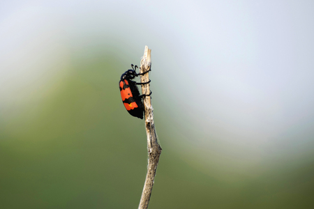 Poisonous blister beetles with bright black and red warning coloration, Akola Maharashtra, India. Reklamní fotografie