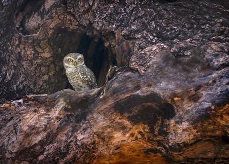 Spotted owlet, Athene brama, Tadoba, Maharashtra, India.