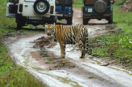 Tiger amidst safari vehicles at Tadoba in Maharashtra, India.