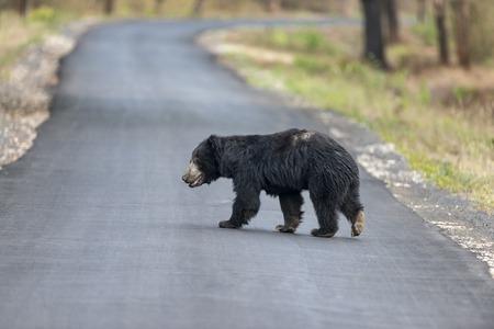 Sloth bear crossing highway near Chandrapur, Tadoba in Maharashtra, India.