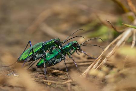 Tiger beetle mating, Kas Plateau at Satara in Maharashtra, India.