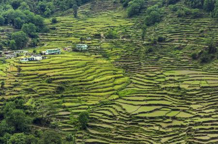 Terrace Paddy cultivation at Rudraprayag, Garhwal, Uttarakhand, India.