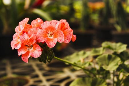 Close-up of fresh looking Divas geranium flowers, India