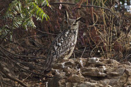 Indian eagle owl, Solapur, Maharashtra, India 写真素材 - 132046886