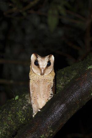 Sri Lanka bay owl, Valaparai, Tamilnadu, India
