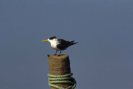 Greater crested tern, Goa, India