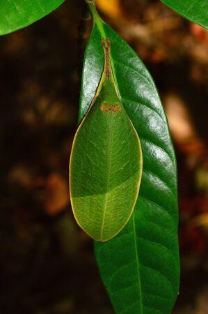 Leaf like Katydid, Tettigonidae family, dorsal view at Amba in Kolhapur, Maharashtra, India