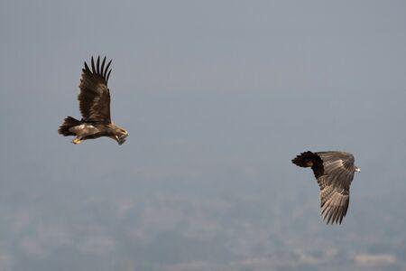 Steppe eagle, Aquila nipalensis, wildlife of Saswad, Maharashtra