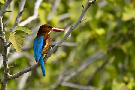 White-throated kingfisher, Halcyon smyrnensis or Smyrna kingfisher sitting on a branch, Pune, Maharashtra, India