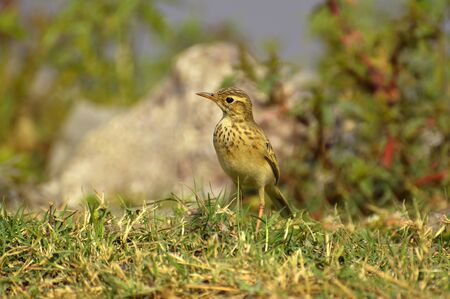 Paddyfield pipit or Oriental pipit, Anthus rufulus standing on grass ground at Pune in Maharashtra, India