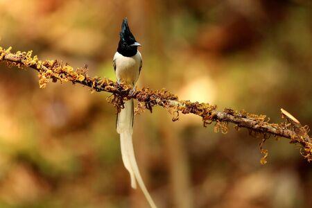 Asian paradise flycatcher, Terpsiphone paradisi, male at Ganeshgudi in Karnataka, India.