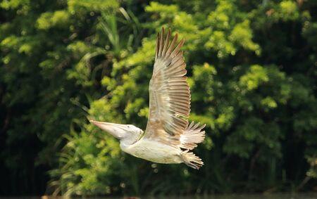 Spot billed pelican in flight, Pelecanus philippensis at Ranganathittu Bird Sanctuary, Karnataka, India Imagens