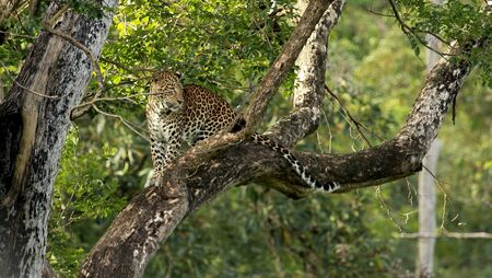 Leopard, Panthera Pardus, male at Nagarhole National park Karnataka, India