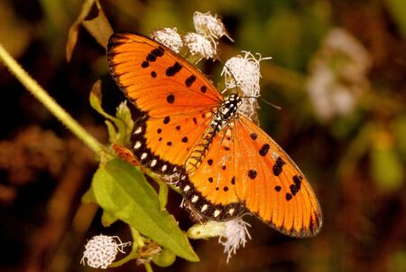 Tawny coster butterfly, Acraea terpsicore, Hesarghatta at Bangalore in Karnataka, India. Imagens