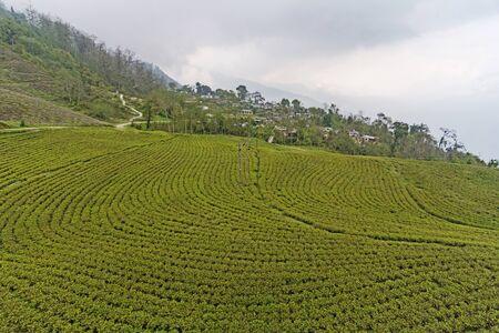 Tea plantation at Temi Tea Estate at Sikkim, India
