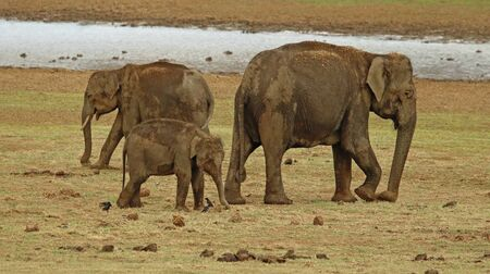 Elephant with calf, Elephas maximus indicus at Nagarhole National Park in Karnataka, India.