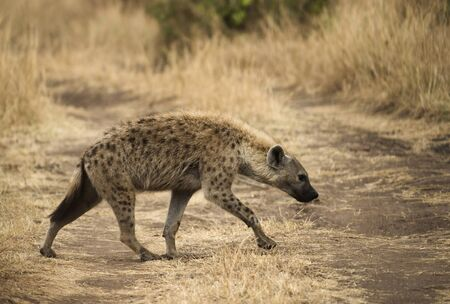 Spotted hyena on a dry grass land at Masaimara in Africa 写真素材