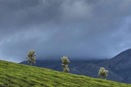 Munnar tea estate in Kerala state of India