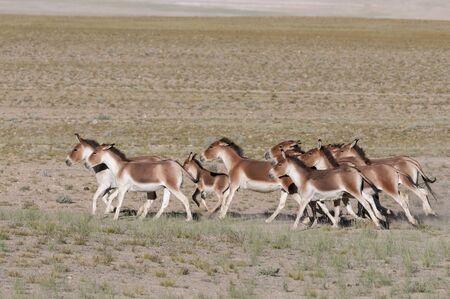Wild ass or Kiang Pack, Tsokar at Ladakh in Jammu and Kashmir, India Imagens