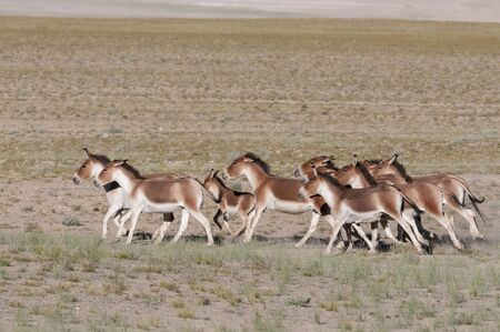 Wild or Kiang Pack, Tsokar at Ladakh in Jammu and Kashmir, India