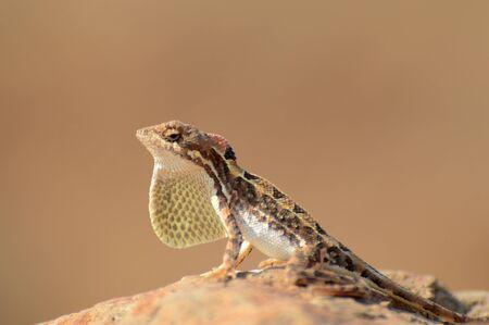 Fan throated lizard, Sitana sp at Satara in Maharashtra, India.