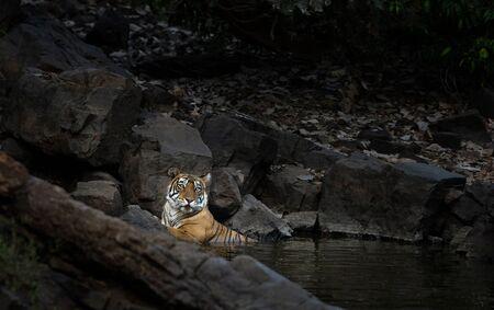 Tigress, Panthera tigris cooling off in waterhole at Ranthambhore, Rajasthan, India