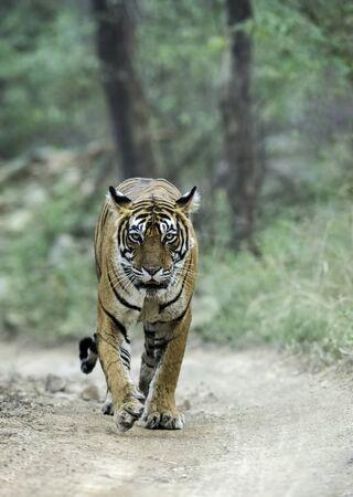 Tigress, Panthera tigris walking at Ranthambhore in Rajasthan, India Imagens