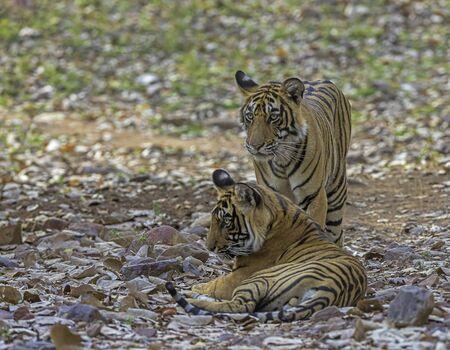 Two tigers, Panthera tigris at Ranthambhore in Rajasthan, India