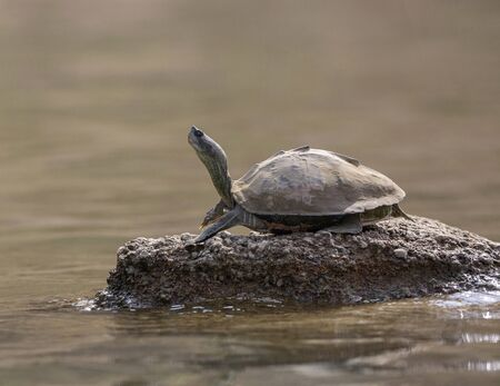Turtle basking on the banks of Chambal river in Rajasthan, India