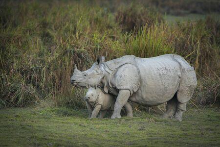 Matka i cielę nosorożca w Parku Narodowym Kaziranga w Assam, Indie Zdjęcie Seryjne