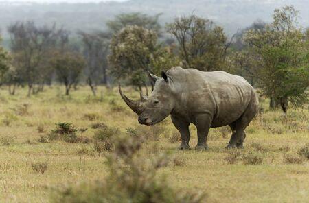 Endengered white rhino, Ceratotherium simum at Nakuru in Kenya, Africa