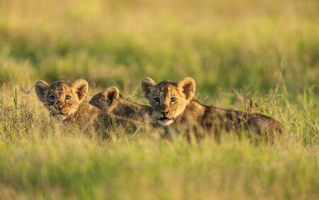 Des lionceaux dans une lumière du matin à Amboseli, Kenya Banque d'images