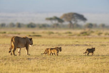 Lioness with 3 cubs at Amboseli in Kenya, Africa