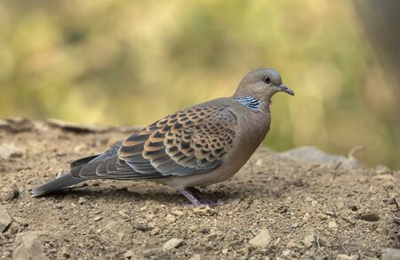 Oriental turtle dove, Streptopelia orientalis at Sattal in India Banque d'images