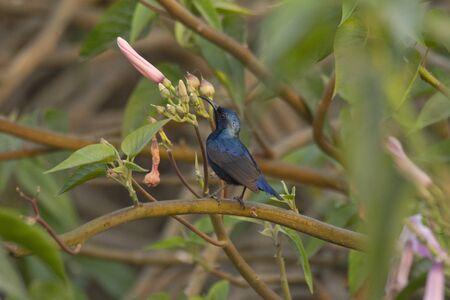 Male purple sunbird or Leptocoma zeylonica sitting on tree, India