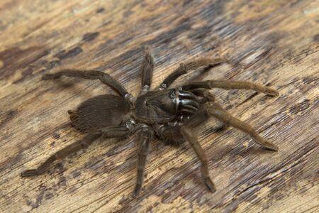 Theraphosidae, Valparai, Tamil nadu. A burrow dwelling tarantula found along mud escarpments along road and tea estates. Stockfoto