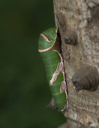 Common mormon caterpillar on a tree at Mumbai, Maharashtra, India